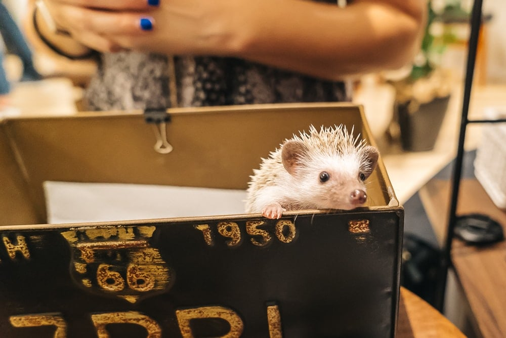hedgehog cafe japan cutest cafes in japan fromlusttilldawn.com travelpockets.com