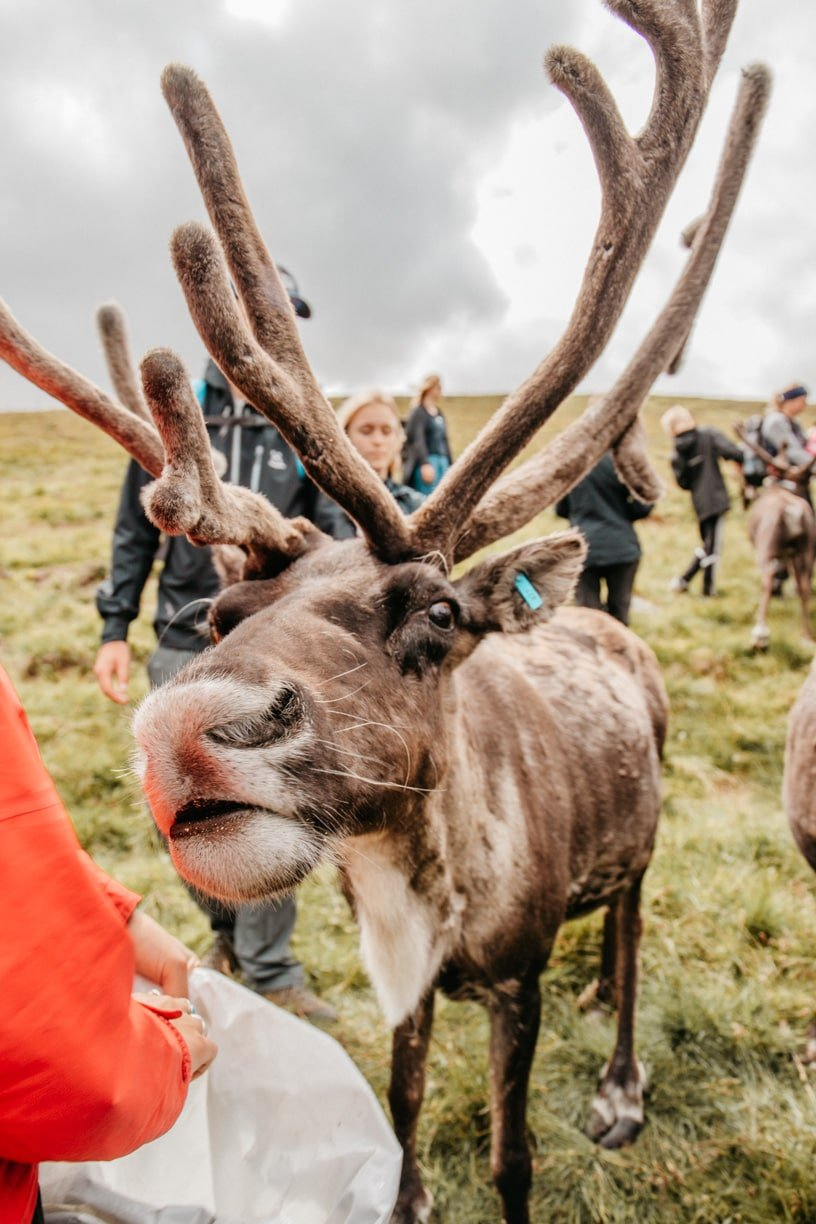 Scottish Highland, the only free-ranging herd of reindeers in the United Kingdom