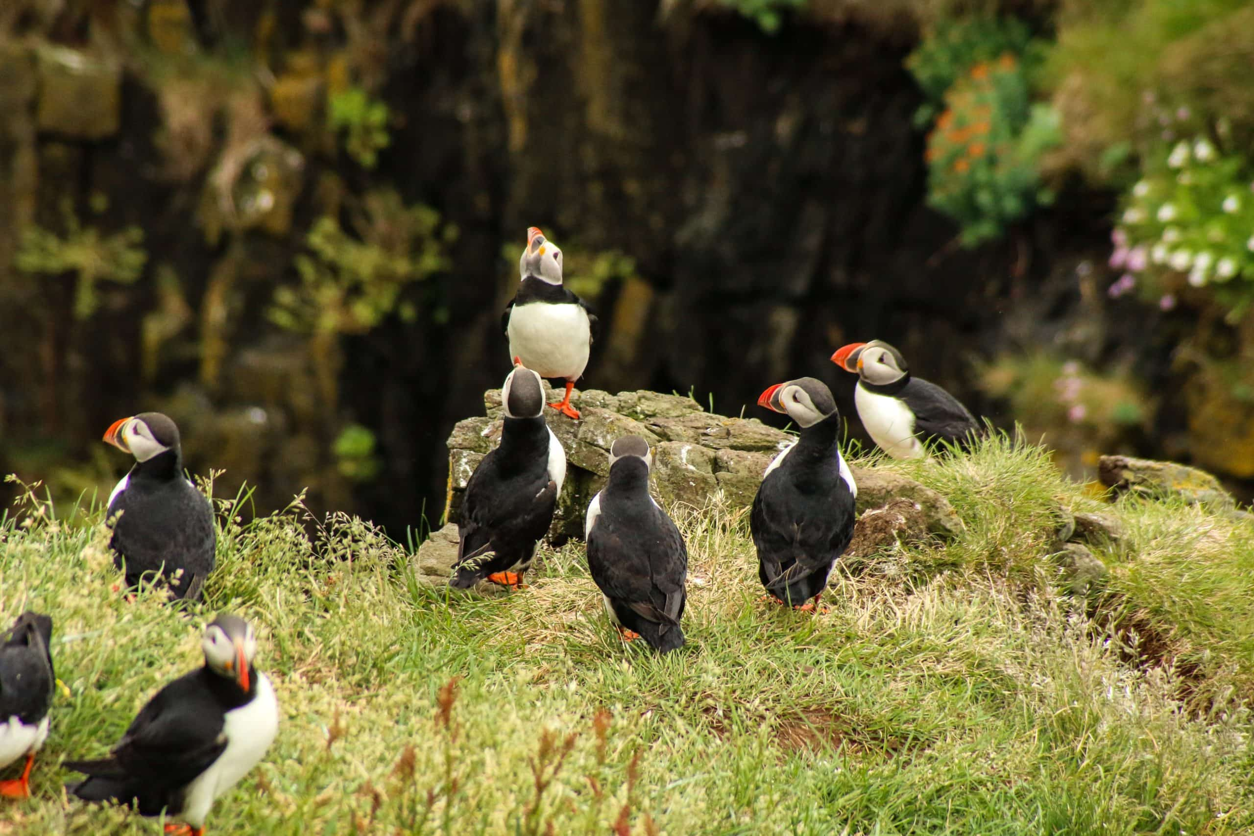 see puffins in iceland in july
